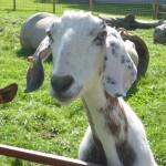 Die schönste Ziege von Zaisertshofen