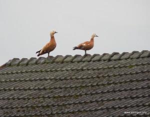 Die Rostgans auf Blochums Dach
