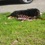Sammy bewacht in der Tussenhauser Straße derweil seine Spareribs